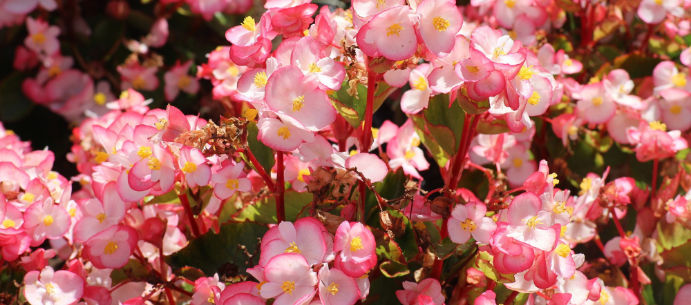 Begoni plants are easy-care