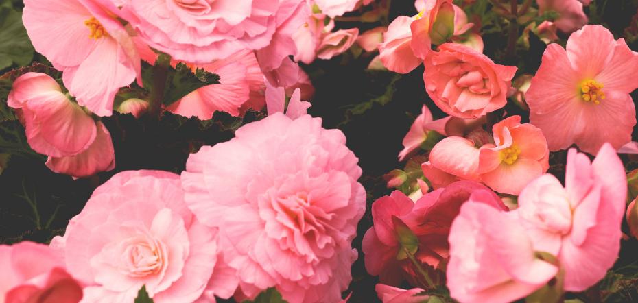 Begonia plant benefits