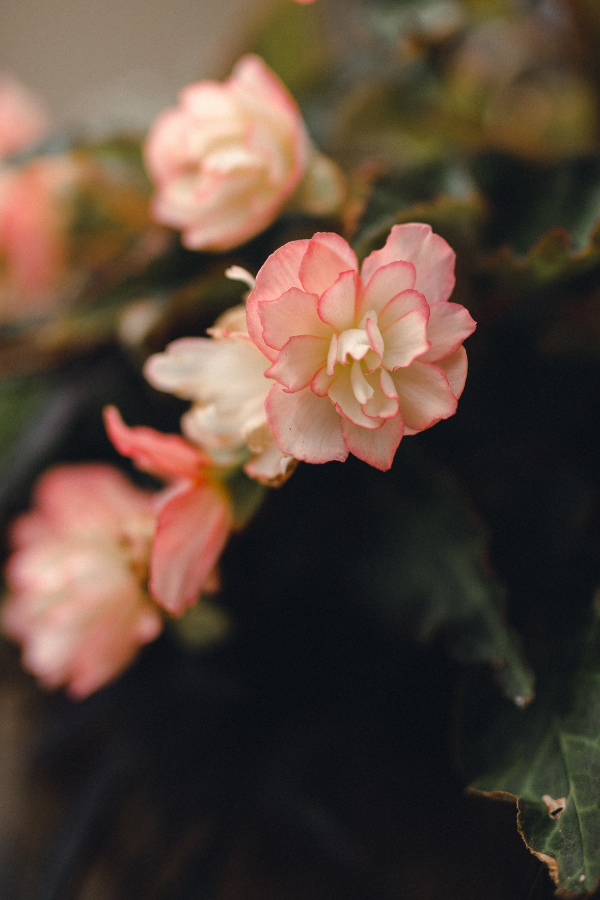 Begonia plant flowers up close