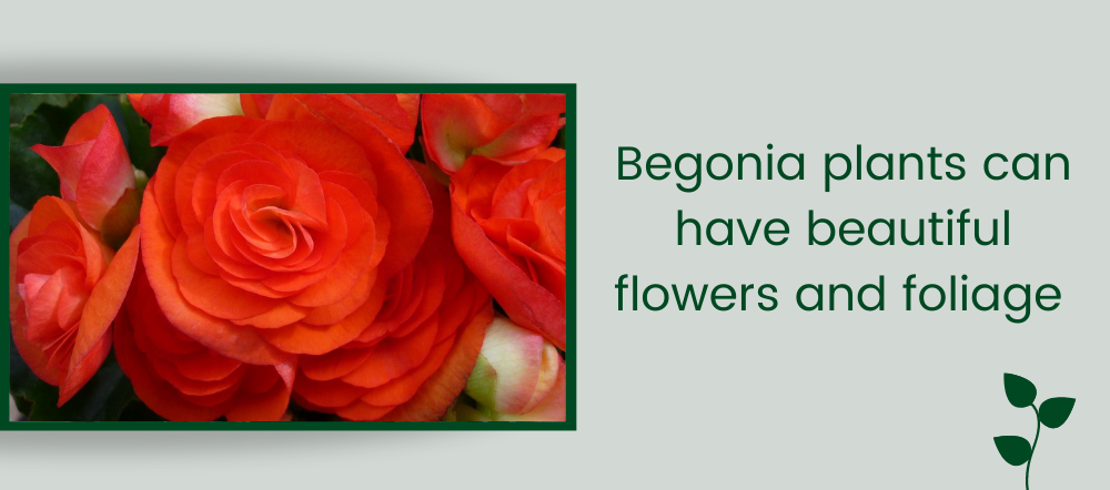 Begonia plants and blooms