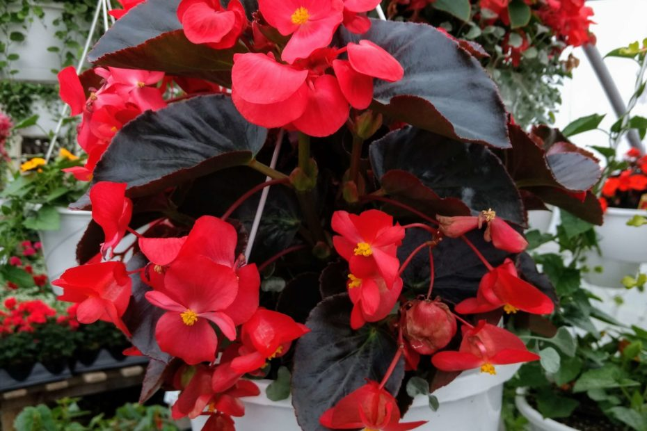 begonia basket in a greenhouse