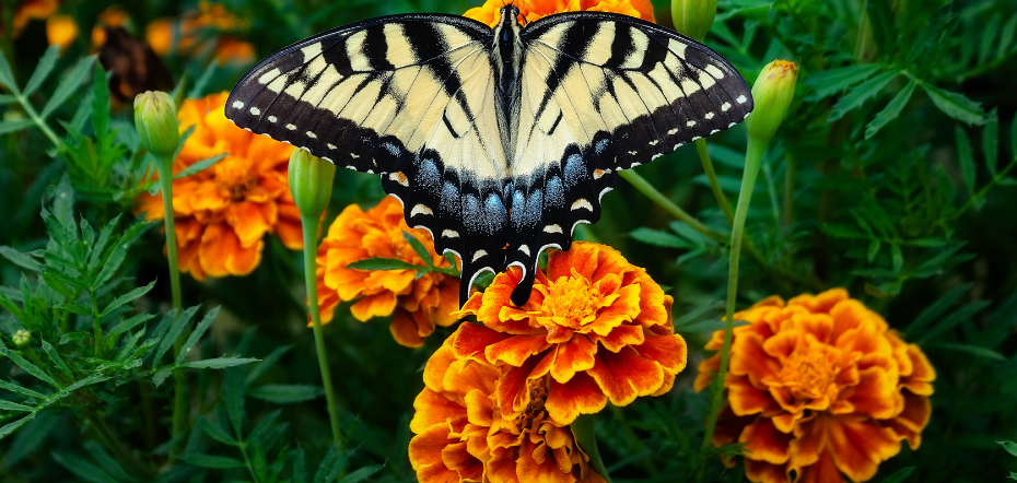 Butterfly on a marigold bloom