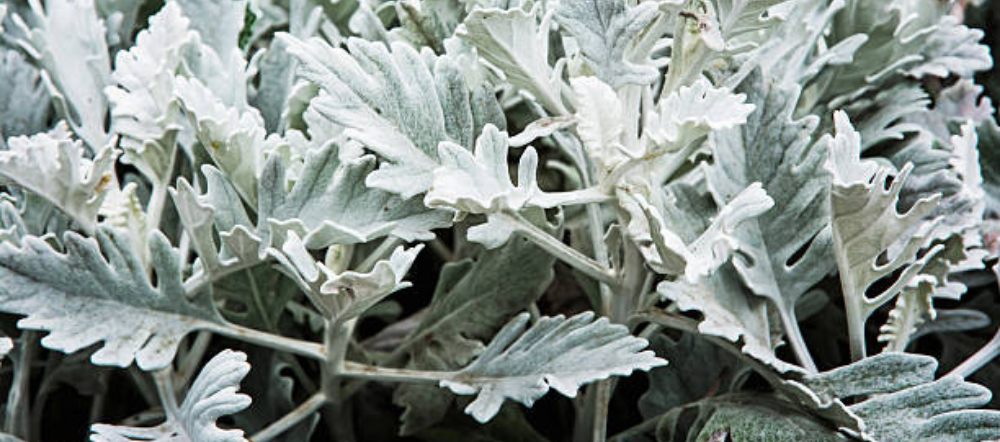 Dusty miller plant up close