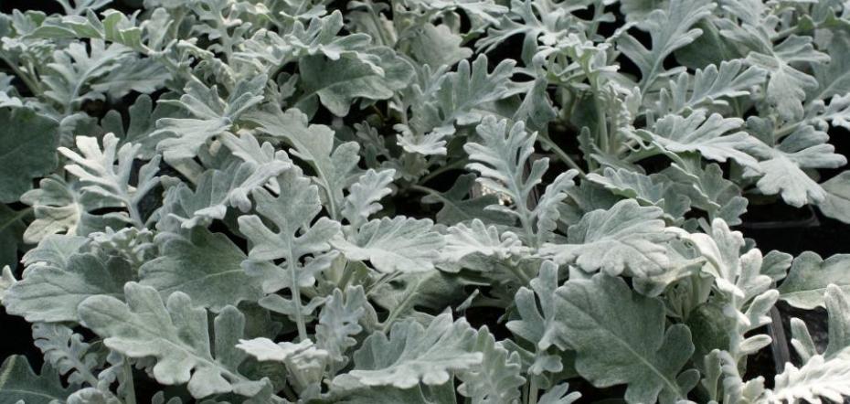 Dusty miller plants