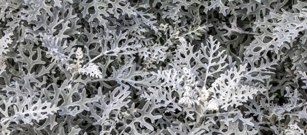 Dusty miller up close