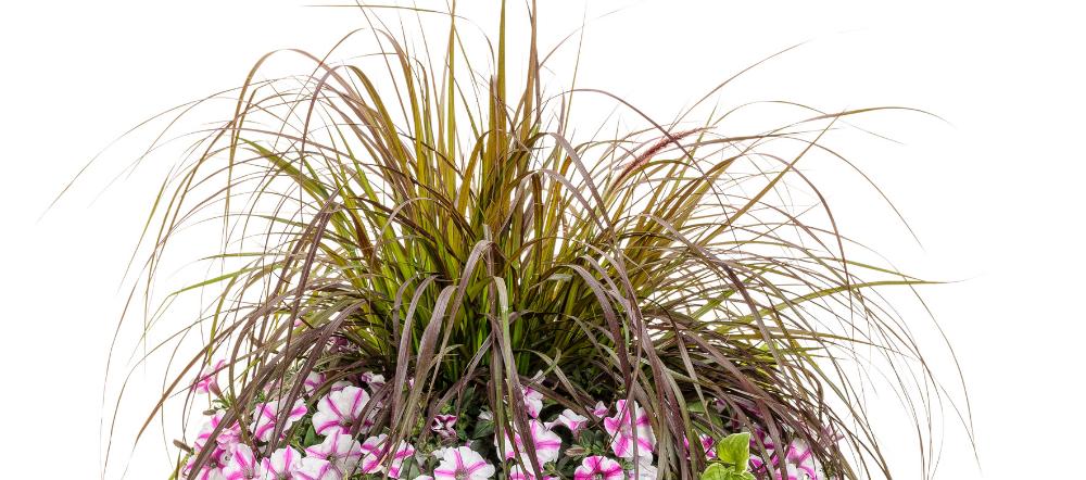 Grasses in a hanging basket