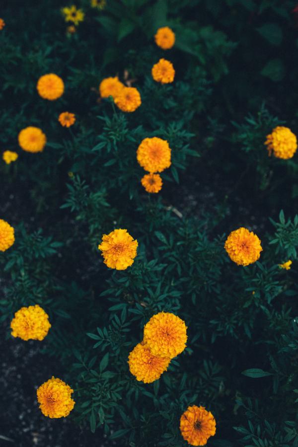 Marigolds blooming in a garden