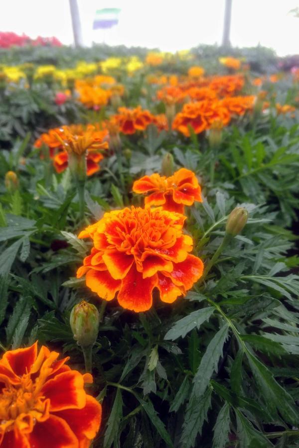 Marigolds blooming