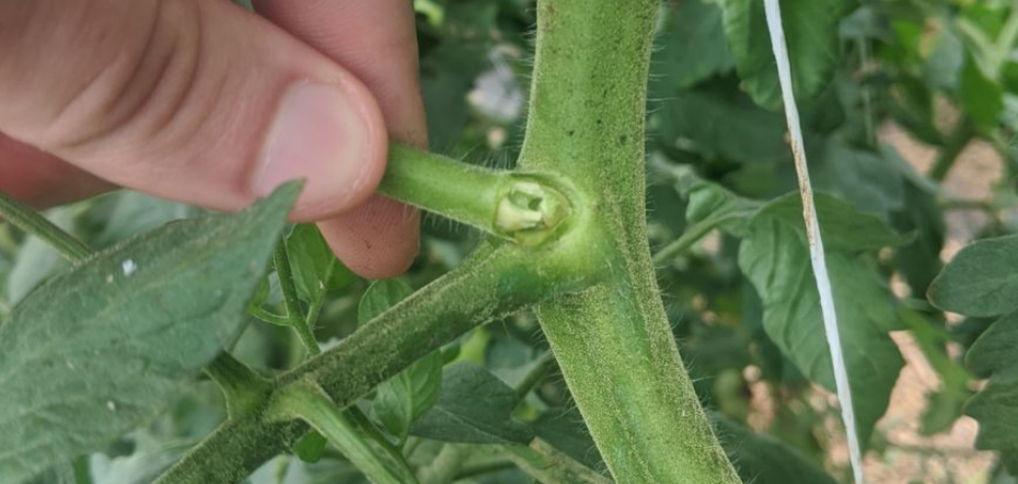 Pruning a tomato plant sucker