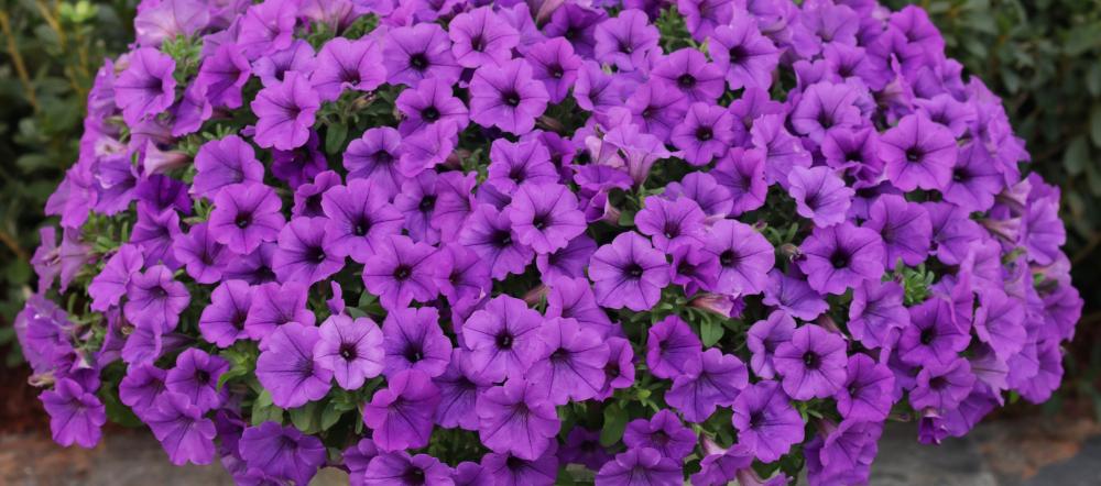 Purple Supertunias