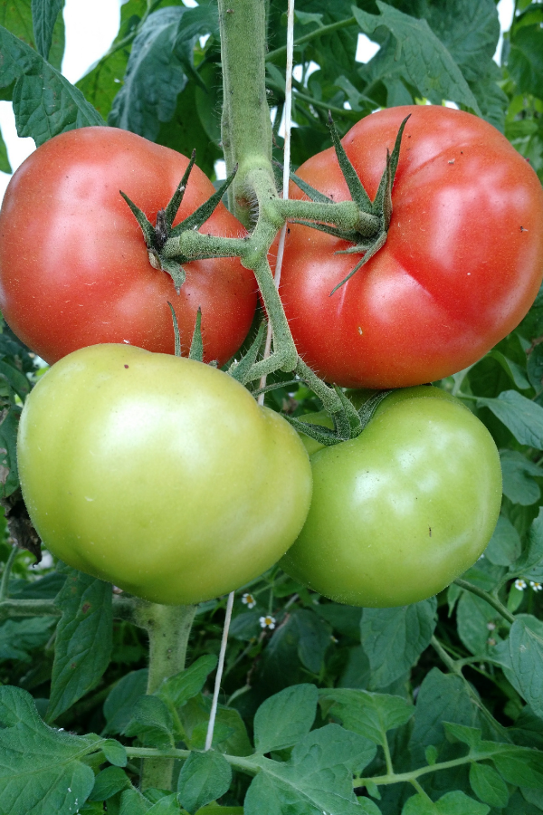 Red tomatoes on a vine in PA