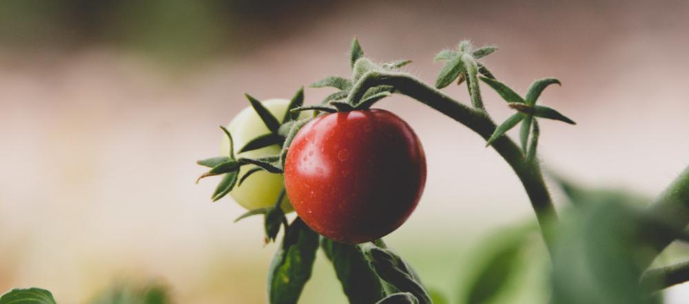 Tomato plants on the vine