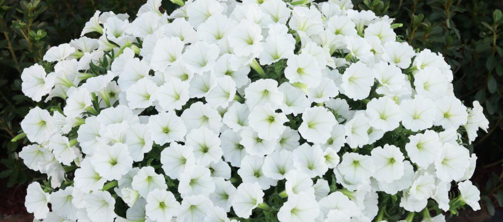 White Supertunias