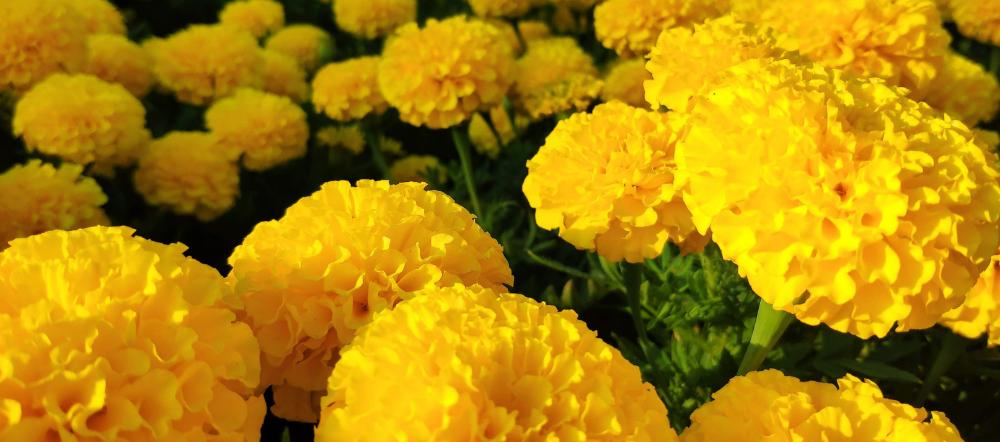 Yellow marigold blooms