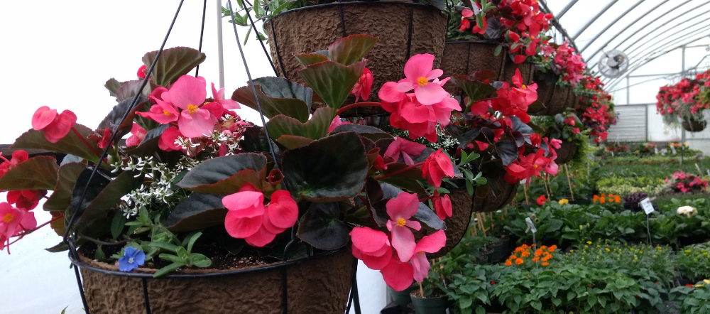 begonias in hanging baskets