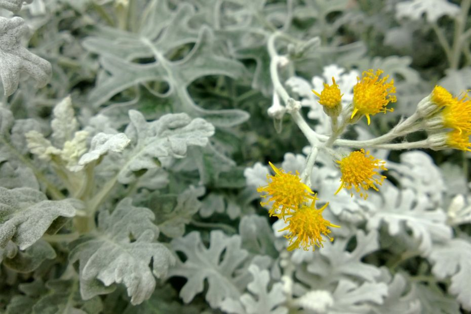 dusty miller plant care