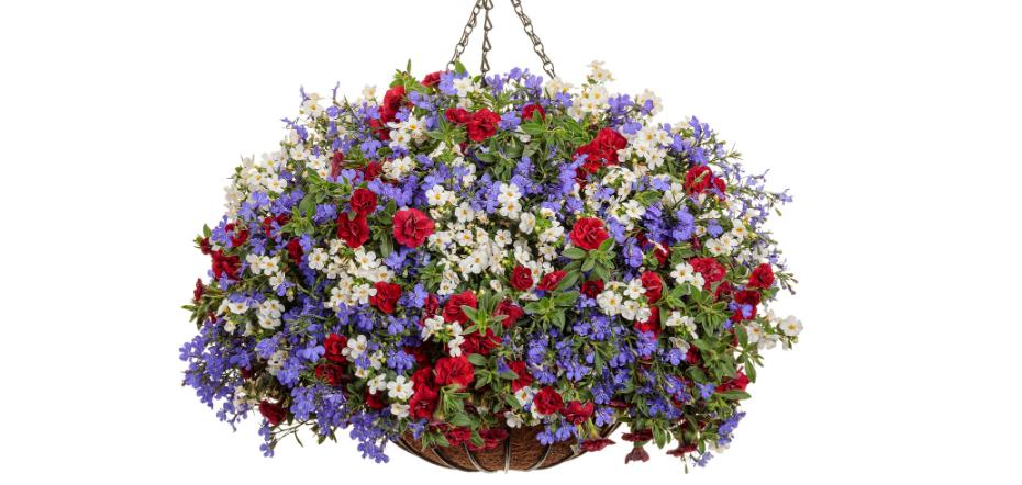 lobelia in a hanging basket