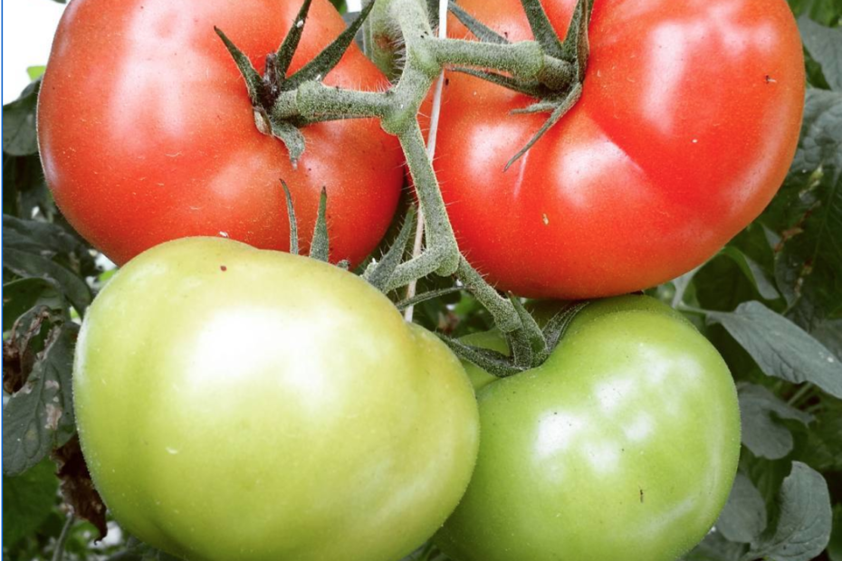 when to plant tomatoes in pa