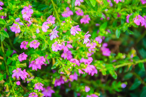 Caring for mexican heather