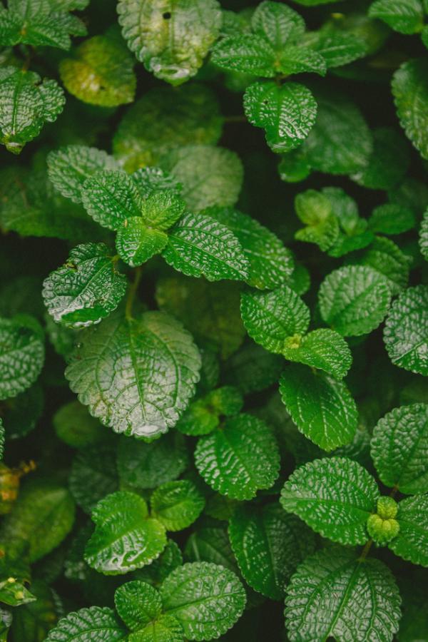 Mint growing in a garden