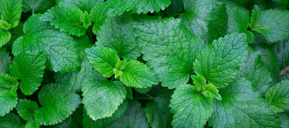 Mint leaves ready to be harvested
