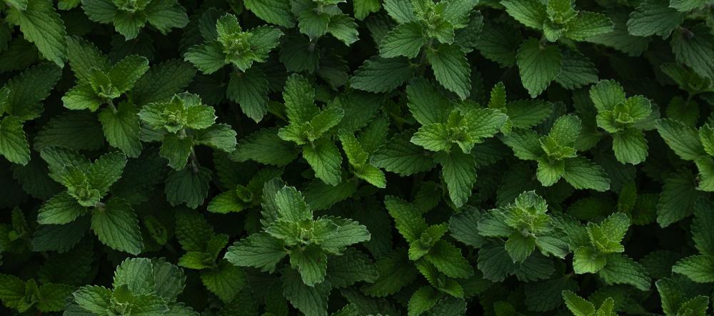 Mint patch