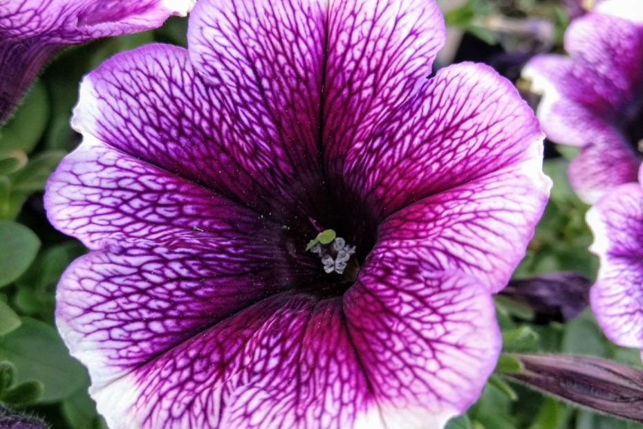 growing wave petunias