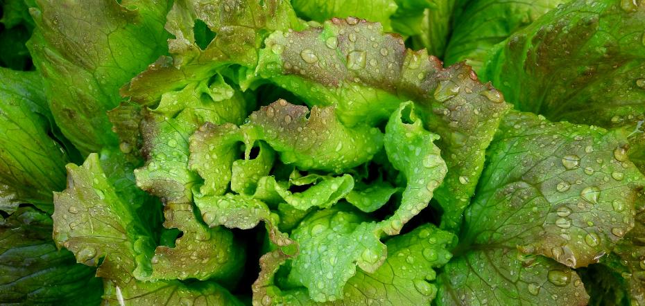 Red crisp lettuce watered