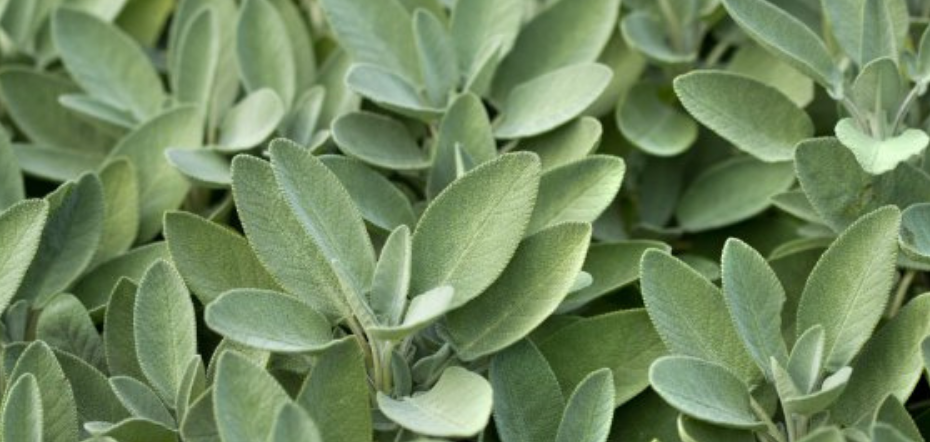 Sage leafs beore being cut for cuttings