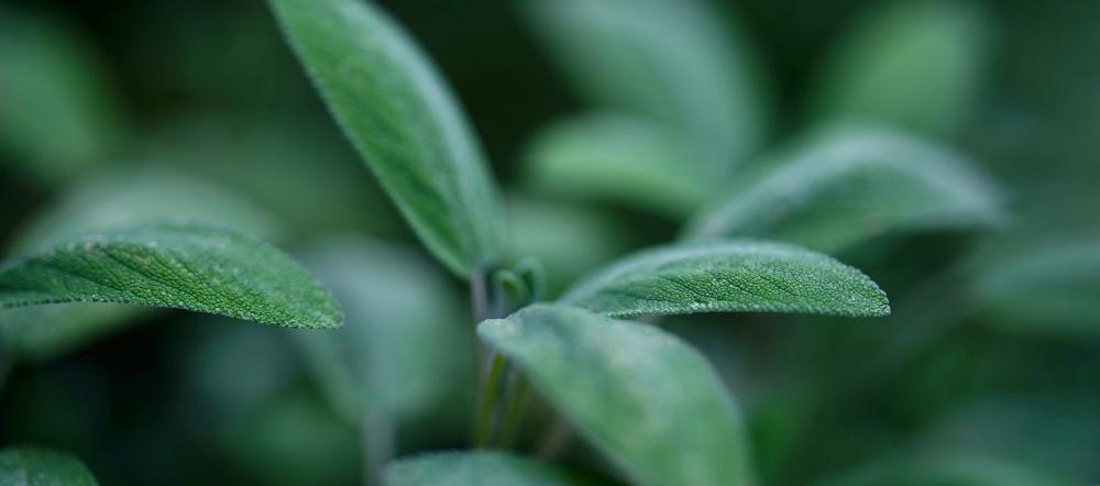 Sage plant up close