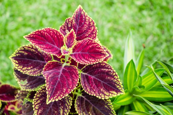 when to plant coleus plants outside