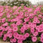 Bubblegum petunias flowering abundantly