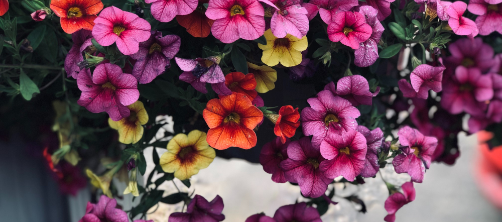 Mini Bells with Wave petunias in a hanging basket