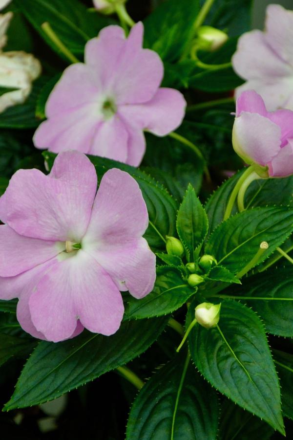 New Guinea impatiens in a planter