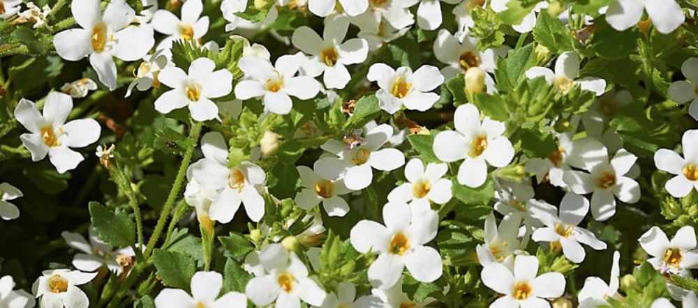 Close up of white bacopa