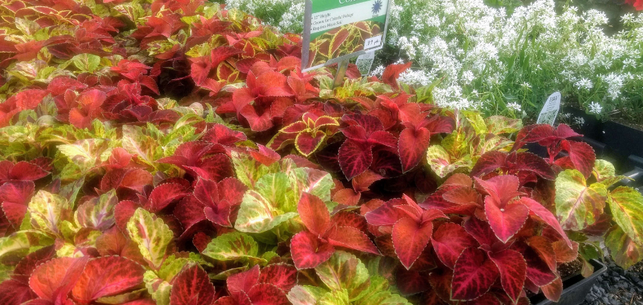 Coleus in a greenhouse
