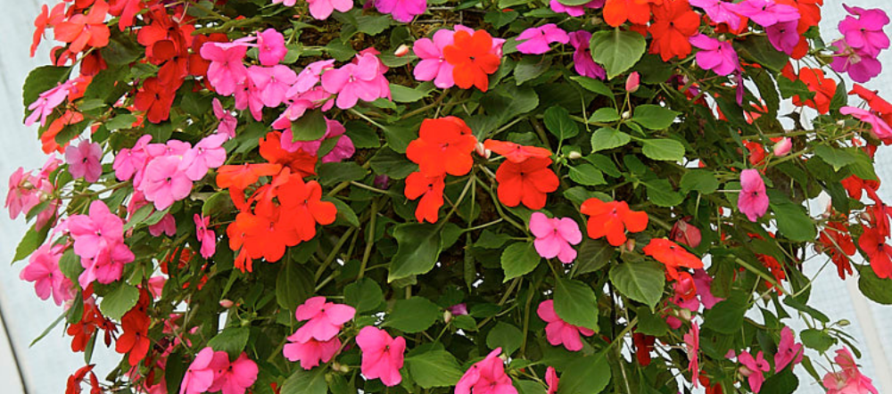 Colorful impatiens in a hanging basket