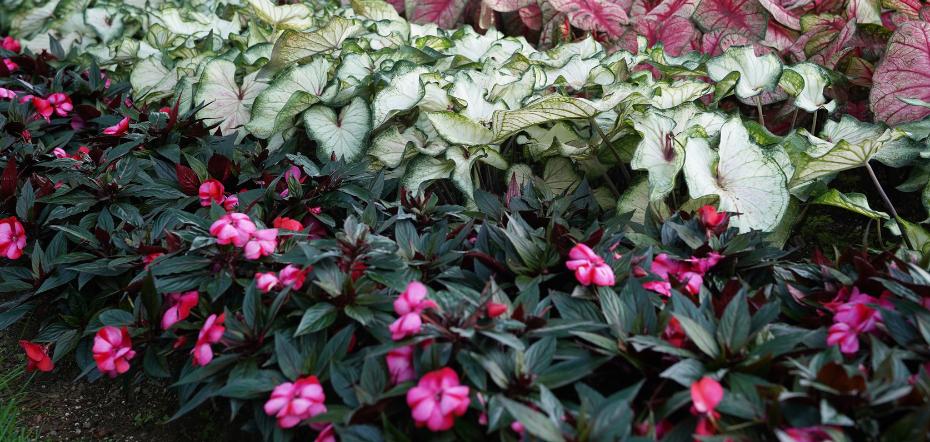 Companion plants for New Guinea impatiens