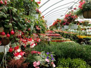 Fuschia basket inside the greenhouse in Ephrata pa