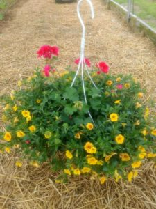 Hanging basket with calibroachoa and geraniums