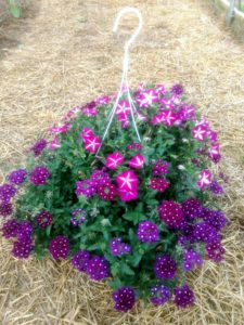 Hanging basket with petunias and verbena