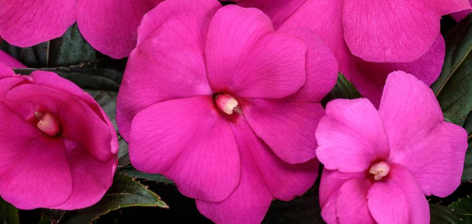 Pink New Guinea impatiens blooms