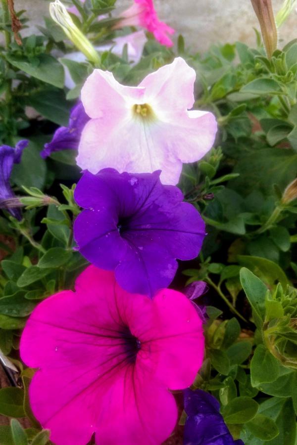 Three colors of wave petunias