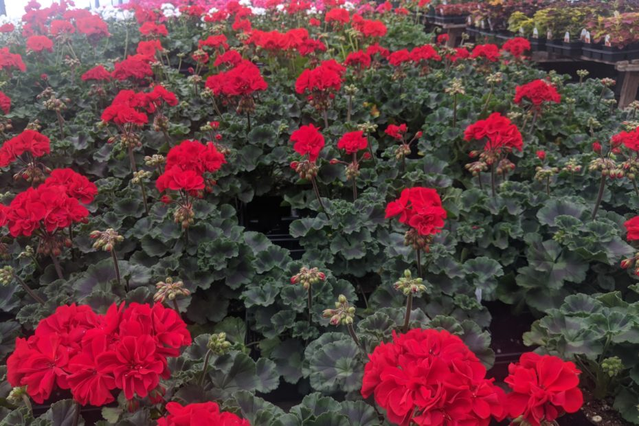 Zonal geraniums for sale in lancaster pa
