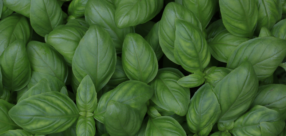 Basil Leaves From the Top