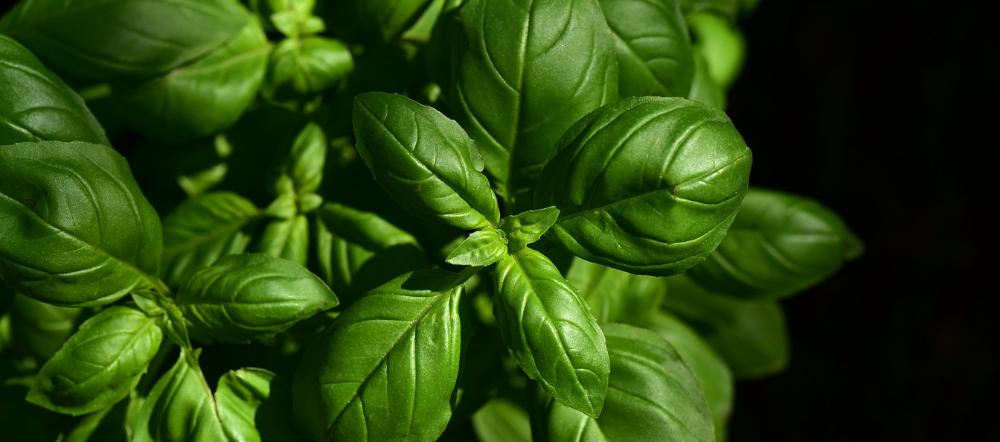Basil Plant Up Close