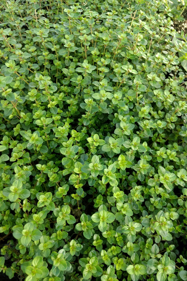 Healthy Thyme Plant