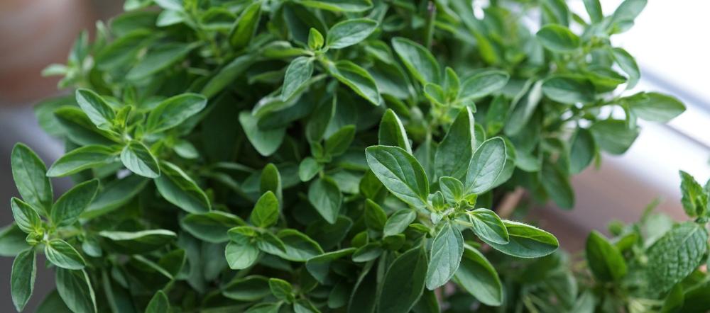 Oregano plant leaves
