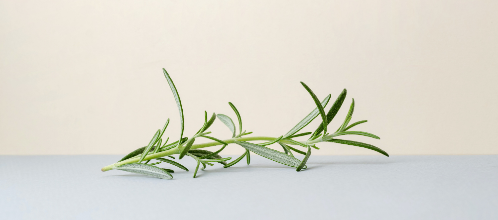 Rosemary Sprig Lying on the Counter