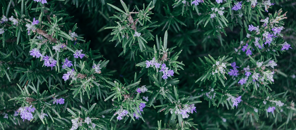 Rosemary with Flowers Birds Eye View